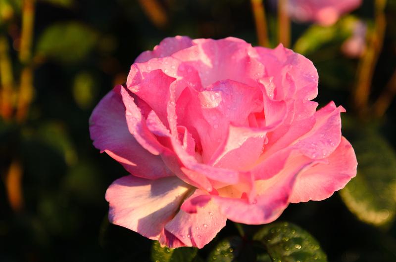 Rose Garden.June.9.2013. -106