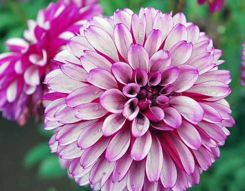 My image of what a dahlia is
