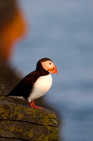 Puffin at peace