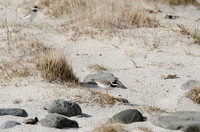 Parading Plovers