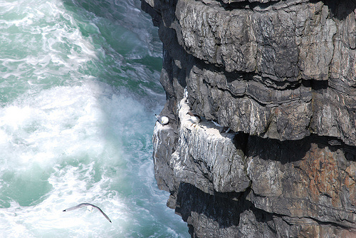 Nesting kittiwakes and razorbills