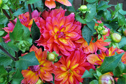 Who knew a dahlia could look like this?