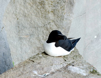Razorbill on the cliffs of Látrabjarg