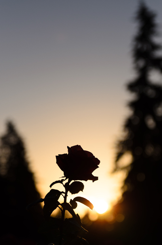 Rose at sunrise
